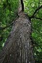 Rain forest tree Royalty Free Stock Photo