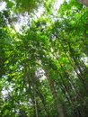 Rain forest trees and vegetation seen from the ground Royalty Free Stock Photo