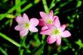 Rain Lilies flower. Royalty Free Stock Photo