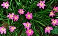 rain lilies Royalty Free Stock Photo