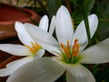 Rain lily Royalty Free Stock Photo
