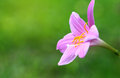 Rain Lily Soft focus Pink flowers blooming Royalty Free Stock Photo