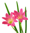 Rain lily zephyranthes rosea or over white background Stock Photography