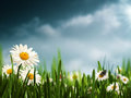 Before the rain natural backgrounds with beauty daisy flowers Stock Image
