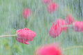 In the rain red Tulip closeup. Royalty Free Stock Photo