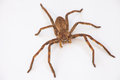 Rain Spider (Palystes Supercil...