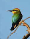 Rainbow bee eater Royalty Free Stock Photo
