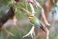 Rainbow Bee-eater Royalty Free Stock Photo