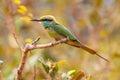 Rainbow bee eater merops ornatus is a near passerine bird in the family meropidae eaters are brilliantly Stock Photos