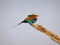 Rainbow Bird Royalty Free Stock Photo