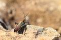 Rainbow bush locust endemic madagascar phymateus saxosus in isalo national park names include milkweed and Stock Image