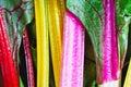 Rainbow chard Royalty Free Stock Photo