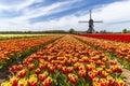 Rainbow color tulip farm