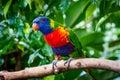 Rainbow Colorful Parrot Bird Royalty Free Stock Photo