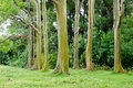 Rainbow Eucalyptus Royalty Free Stock Photography