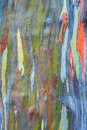 Rainbow eucalyptus colorful bark of the deglupta Royalty Free Stock Image
