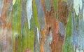 Rainbow eucalyptus colorful bark of the deglupta Stock Images
