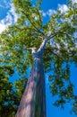 Rainbow eucalyptus deglupta or rainbowgum tree has a unique multi hued bark Stock Photography