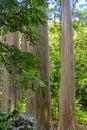 Rainbow eucalyptus Eucalyptus deglupta with colorful bark, Maui, Hawaii