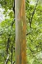 Rainbow Eucalyptus tree. Royalty Free Stock Images