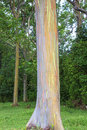Rainbow Eucalyptus Tree Bark Stock Photo