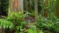 Rainbow eucalyptus trees in hawaiian rainforest colorful tree trunks of the deglupta at the keanae arboretum along the road to Stock Photos