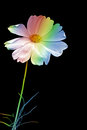 Rainbow Flower Royalty Free Stock Photo