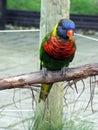 Rainbow Lorakeet Royalty Free Stock Photo