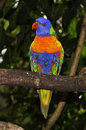 Rainbow lorikeet, Australia Stock Photos