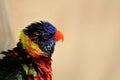 Rainbow Lorikeet bird in aviary, Florida Royalty Free Stock Photo
