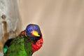 Rainbow Lorikeet bird in Florida Royalty Free Stock Photo