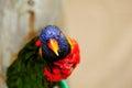 Rainbow Lorikeet bird, South Florida Royalty Free Stock Photo