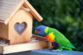 Rainbow lorikeet feeding at bird house Stock Image