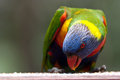 Rainbow lorikeet feeding in the nature horisontal version Royalty Free Stock Photo