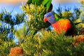Rainbow Lorikeet foraging in the morning Stock Images