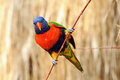 Rainbow lorikeet lori parrot in bird park avifauna netherlands Stock Photos