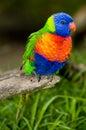 Rainbow Lorikeet On A Perch Royalty Free Stock Photo