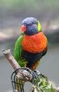 Rainbow Lorikeet Perched Royalty Free Stock Photo