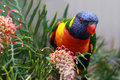 Rainbow Lorikeet perched on a Grevillia branch Royalty Free Stock Photo