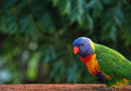 Rainbow lorikeet perched on verandah rail with leaf bokeh background Royalty Free Stock Photo