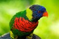 Rainbow Lorikeet portrait Royalty Free Stock Photo