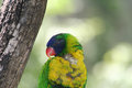 Rainbow lorikeet sleeping on the tree with blurred background Royalty Free Stock Photography