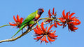 A rainbow lorikeet trichoglossus haematodus colourful medium sized australian parrot feeding on the flowers of coral tree Royalty Free Stock Photos
