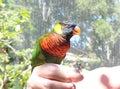 Rainbow Lorikeet Trichoglossus moluccanus Bird on Hand Close Up Royalty Free Stock Photo