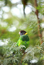 Rainbow Lorikeet,West Australia Stock Photography