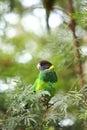 Rainbow Lorikeet,West Australia Royalty Free Stock Photo