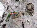 Rainbow Lorikeets in Boab Tree Royalty Free Stock Photo
