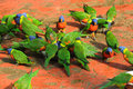 Rainbow loris lori parrots in bird park avifauna netherlands feeding time Stock Images