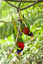 Rainbow Lory Stock Images