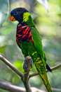 Rainbow Lory Royalty Free Stock Images